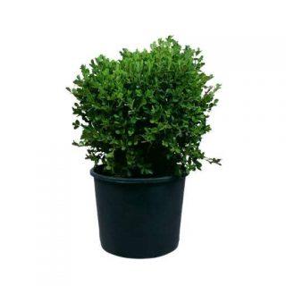 بذر شمشاد سبز