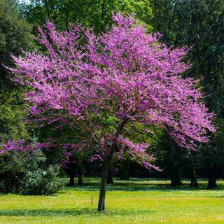 بذر درخت ارغوان