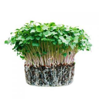 بذر میکروگرین چیا