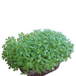 بذر میکروگرین خرفه