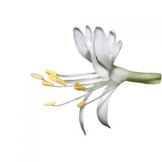 بذر گل پیچ امین الدوله