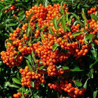 بذر درخت پیرکانترا میوه نارنجی