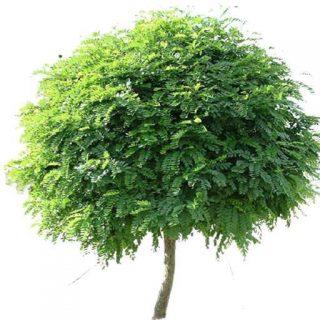 بذر درخت اقاقیا