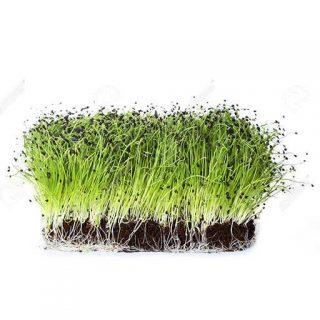 بذر میکروگرین پیازچه