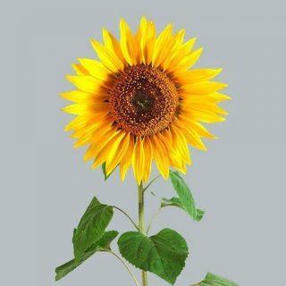 بذر آفتابگردان زینتی گلریز زرد