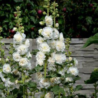گل ختمی سفید
