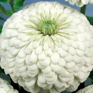 گل آهار سفید پا بلند