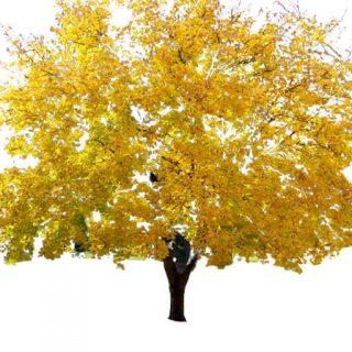 بذر درخت افرا زرد