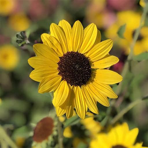 گیاه آفتابگردان زینتی زرد