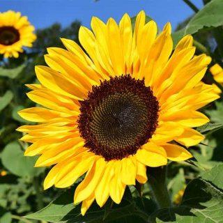 بذر آفتابگردان زینتی زرد