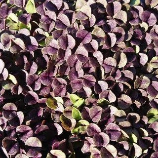 بذر میکرو گرین ریحان سیاه
