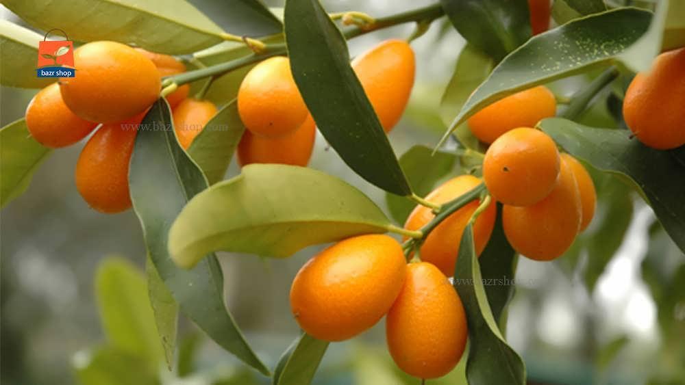 مشخصات گیاهی کامل درخت کامکوات
