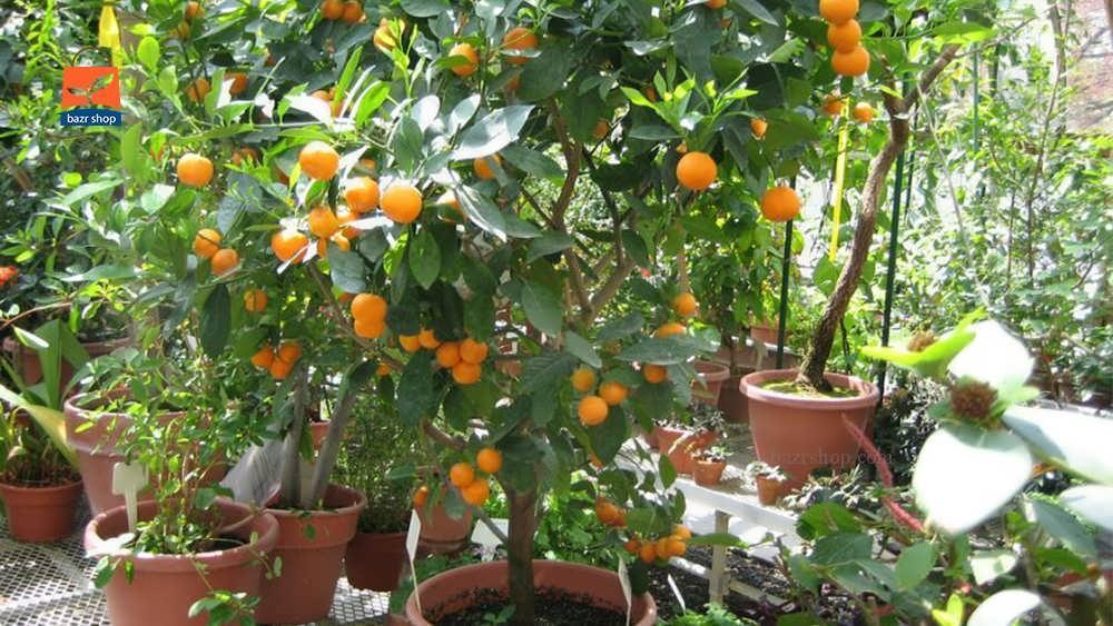 شرایط اکولوژیک رشد درخت کامکوات
