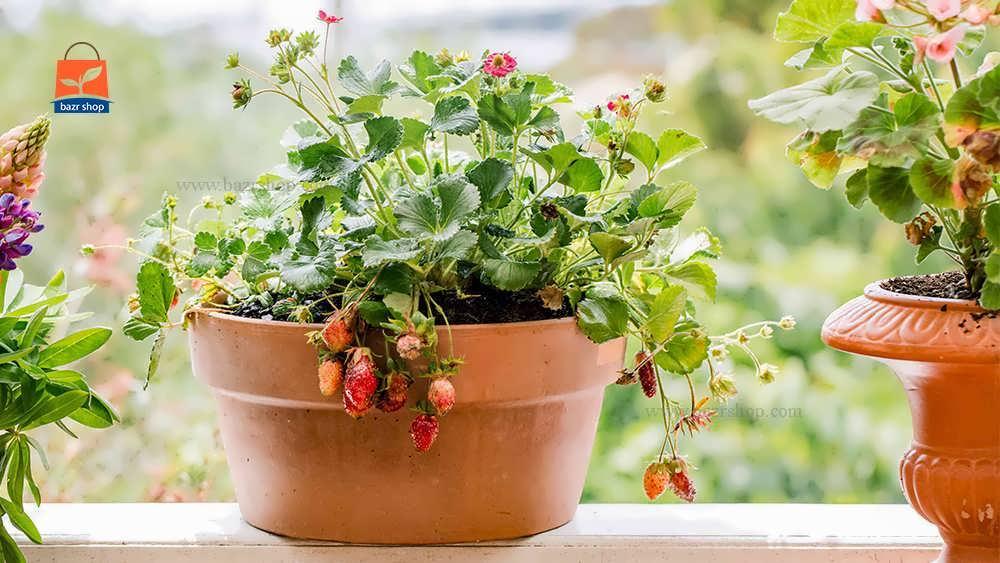 پرورش گیاه توت فرنگی