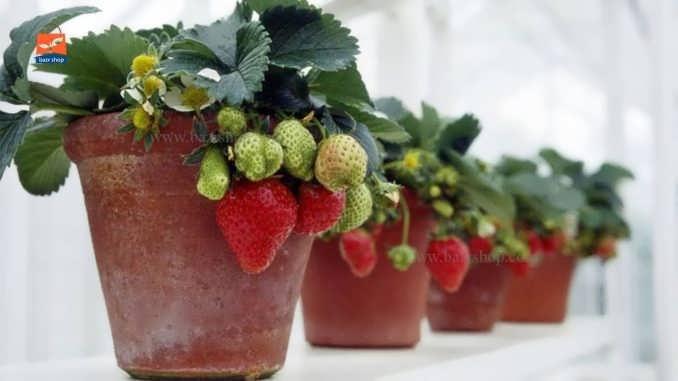 نحوه کاشت و پرورش گیاه توت فرنگی، داخل ایوان خانه