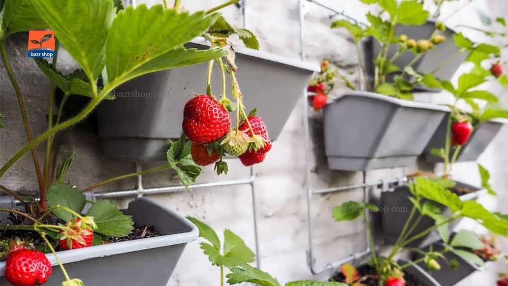 مراقبت از گیاه توت فرنگی