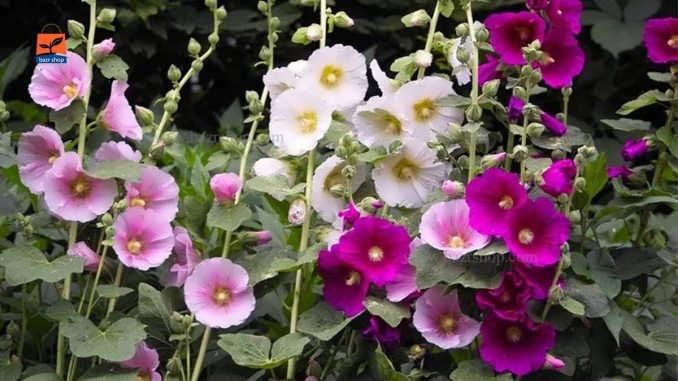نحوه پرورش گل ختمی