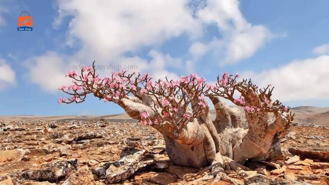 نحوه کاشت و پرورش رز صحرایی