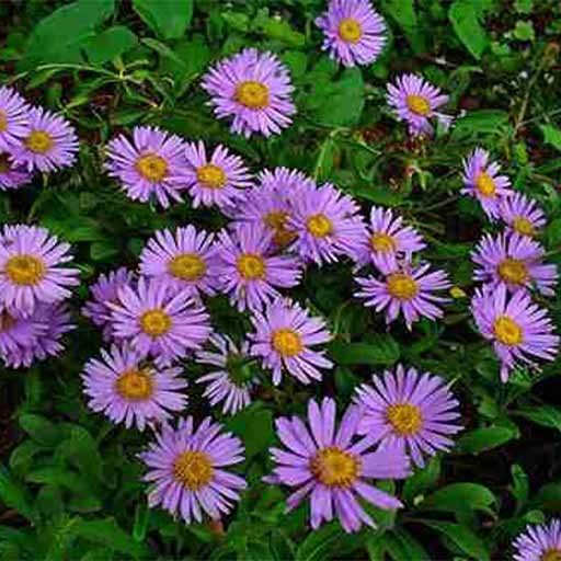 بذر گل مینا پاکوناه بنفش