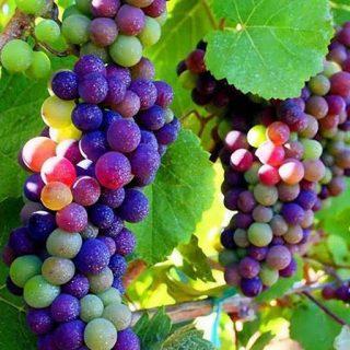 انگور رنگين كمان تازه