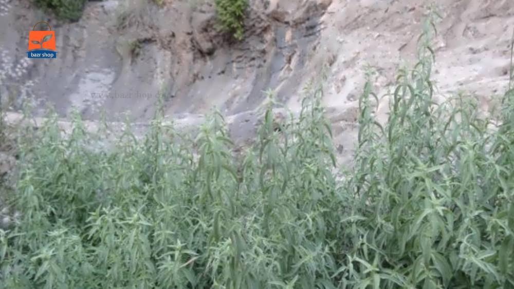 احتیاطات لازم در هنگام مصرف پونه کوهی