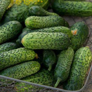 خیار سبز معطر خاردار هیبرید خوب