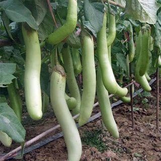 بادمجان سبز بلند لوئیزیانا تازه