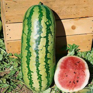 بذر هندوانه آر اس ۵۷
