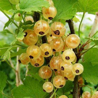 بذر انگور فرنگی سفید (وایت کارنت)